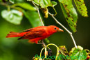 Summer Tanager with mulberries.