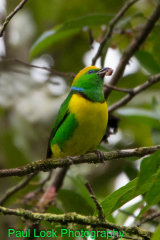 Golden-browed Chlorophonia (male)