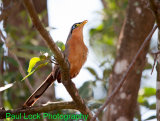 Lesser Ground-Cuckoo