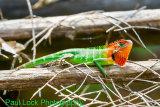 Green Garden Lizard