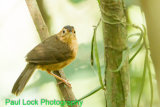 Brown-capped Babbler (Endemic)