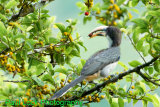 Sri Lanka Grey Hornbill (Endemic)