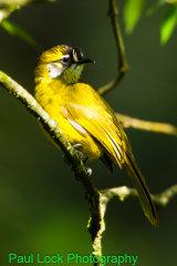 Yellow-eared Bulbul (Endemic)