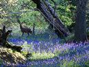 Roe deer in Banstead woods