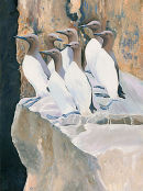 Guillemots, Durlston