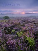 Purbeck Heather
