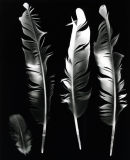 Racing Pigeon Feathers. Photogram.