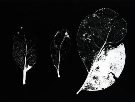 3 Leaves. Photogram.