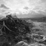 Roots on Rannoch Moor