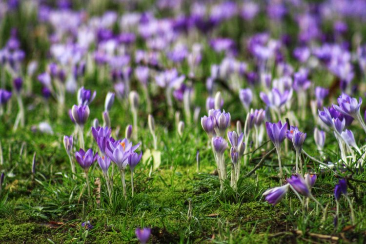 Crocuses in Tavistock 2014