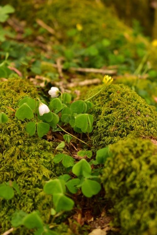 Wood sorrel, at Grenofen woods April 2018
