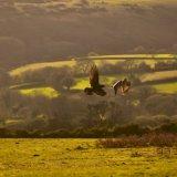 Rook mobbing a buzzard, Pork Hill, November 201)