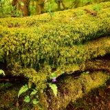Mossy tree stump, Walkham valley May 2018