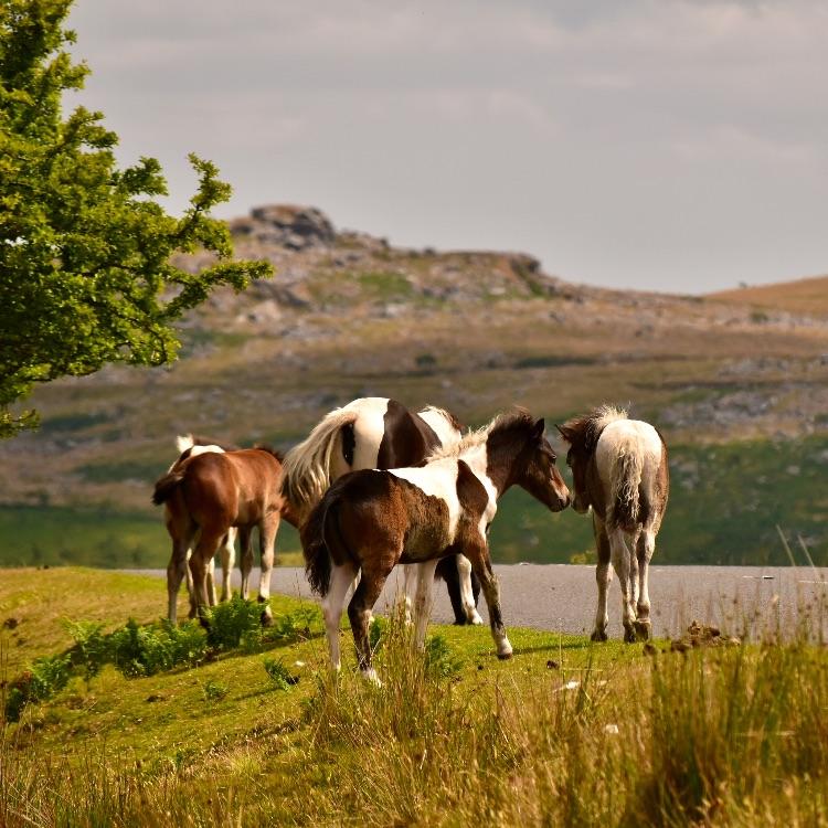 Ponies on Tavistock to Princetown Road, July 2018