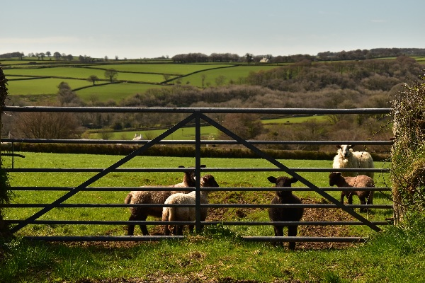 Lambs behind a gate, near Peter Tavy April 2018