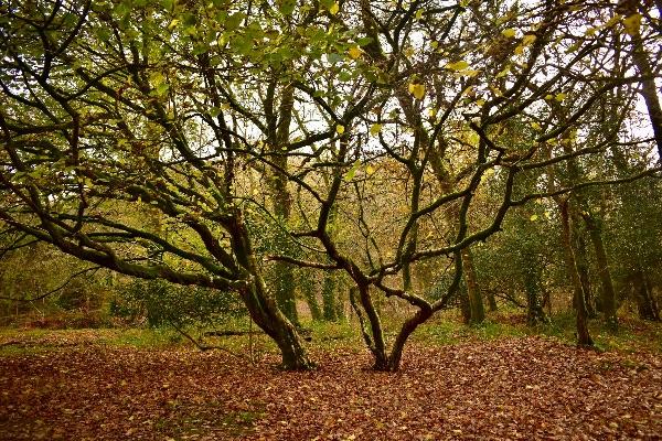 Hazel trees, Walkham Valley November 2017