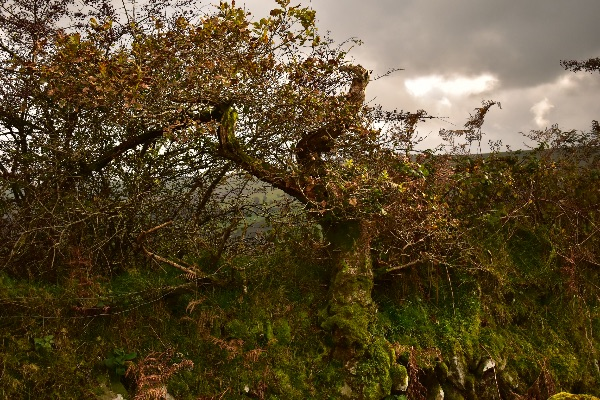 Wind blown oak near Horndon, October 2017