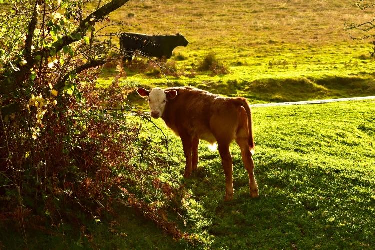 Calf at Whitchurch Down Autumn 2019