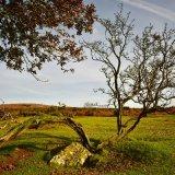 Hawthorn near Pew Tor October 2017