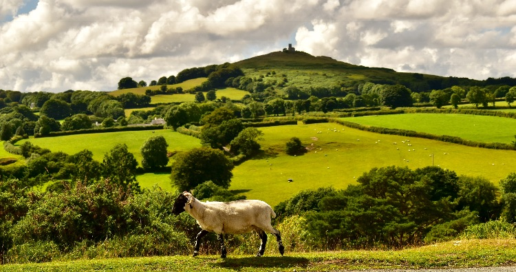 sheep and Brentor, July 2018.
