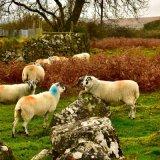 Sheep near Horndon, October 2017.