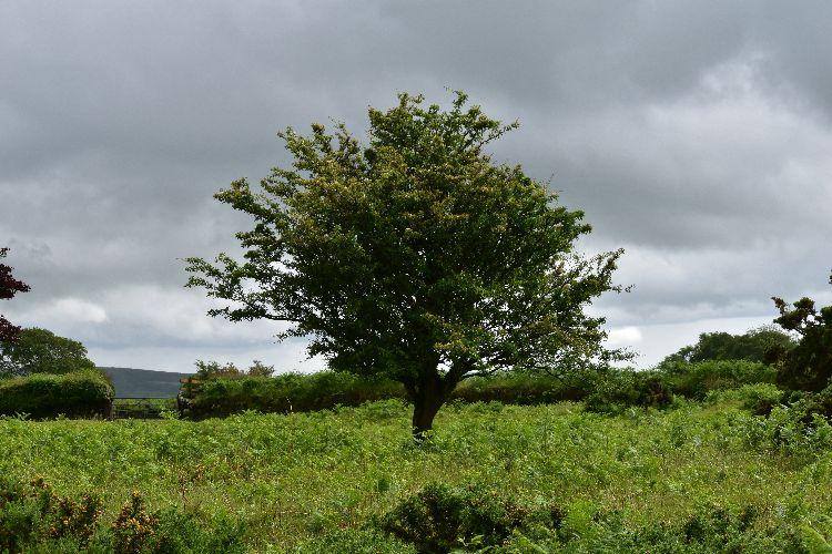 Hawthorn near pew tor, July 2016