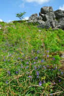 Bluebells Below Cuckoo Rock Dartmoor
