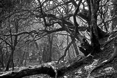 Misty Branches, Grenofen Woods, Walkham Valley Devon