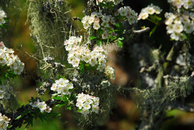 Hawthorn and Lichen Dartmoor
