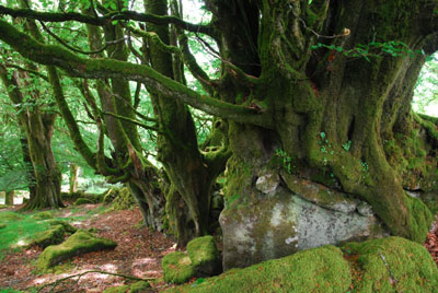 Ancient Beeches Near Burrator Reservoir Dartmoor