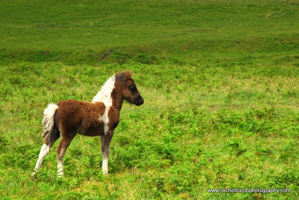 Foal at Drizzlecombe