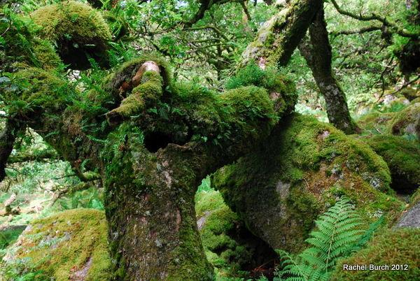Horned Oak Wistmans Wood Dartmoor