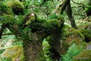 Horned Oak Wistmans Wood Dartmoor