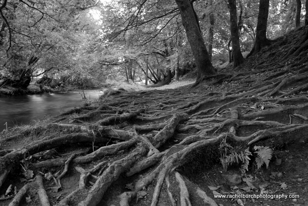The way through the roots Walkham Valley Devon