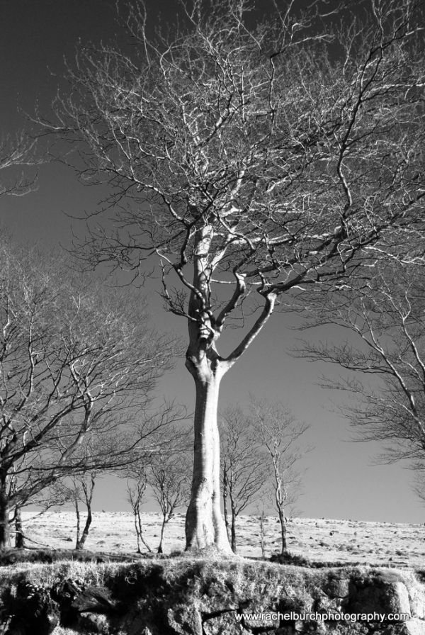 Beech at Fourwinds Merrivale Dartmoor