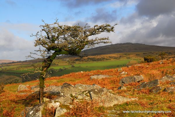 Hawthorn on a February Day Pew Tor Dartmoor