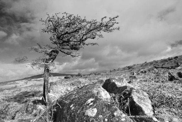 Windswept Hawthorn Pew Tor February 2013