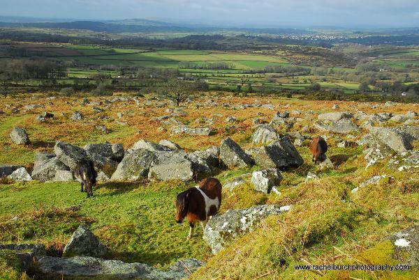 Ponies near Pew Tor Dartmoor