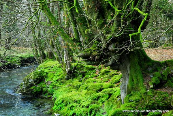 Beech tree and Walkham river West Devon