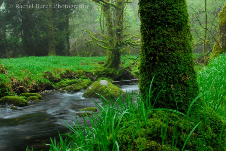Bluebell leaves and mossy trunk, Burrator Woods Dartmoor