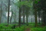 Mist in Pines At Burrator reservoir Dartmoor
