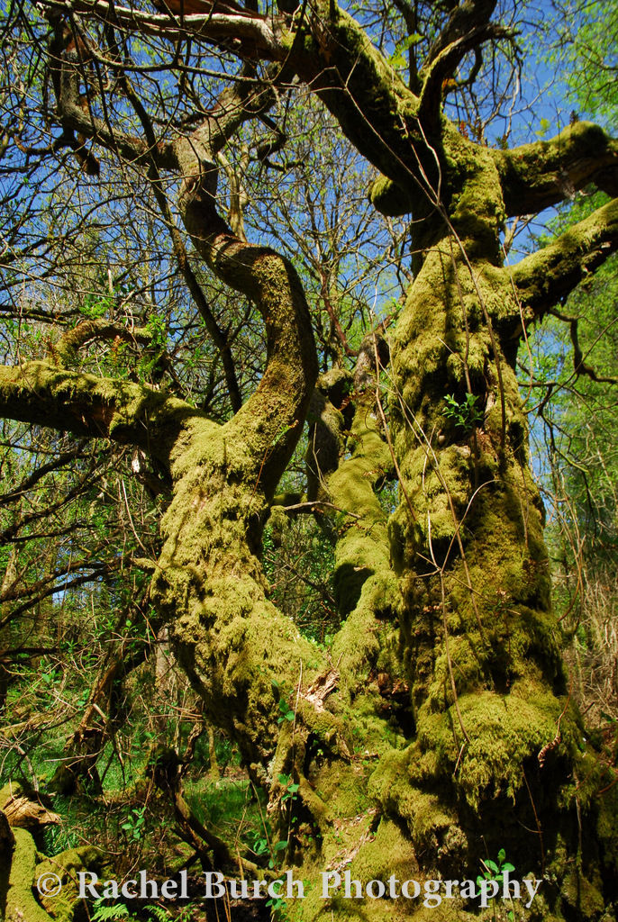 Willow near Burrator reservoir Dartmoor