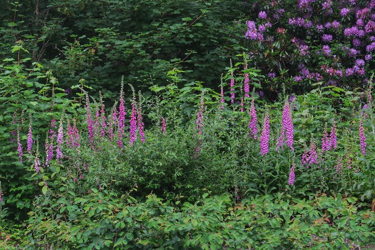 Foxgloves in Tavistock June 2016