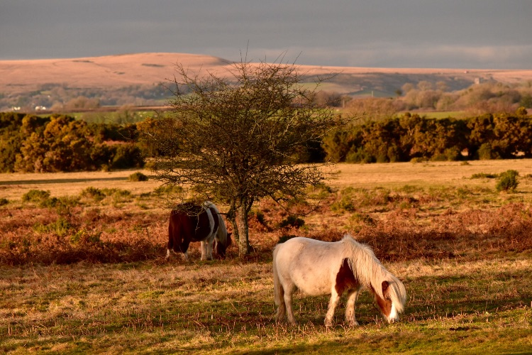 Ponies Whitchurch down December 2016.