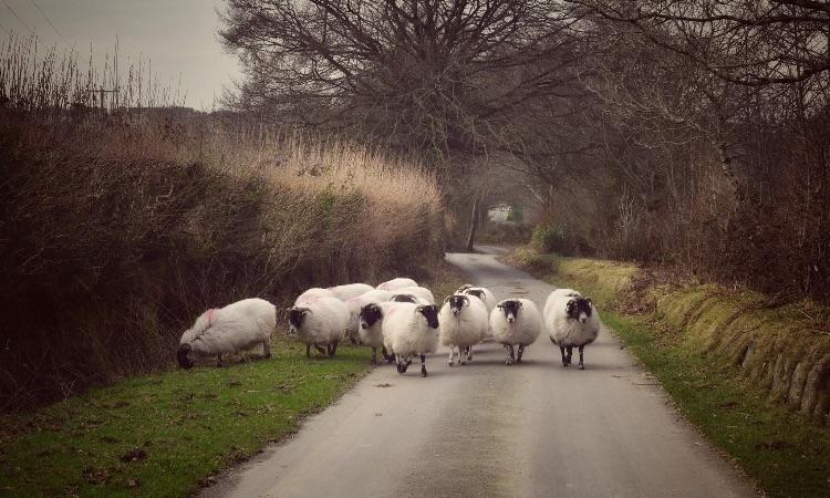 Sheep at Moortown lane, February 2017