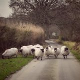 Sheep at Moortown lane, February 2017