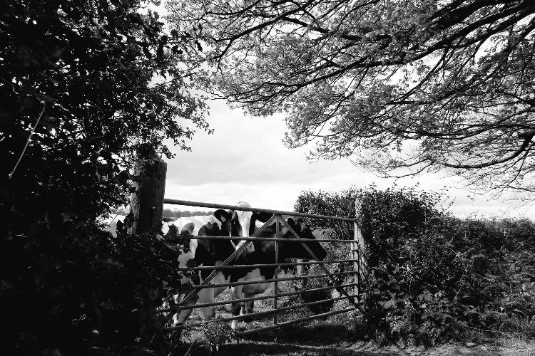 Cows at Lamerton May 2017