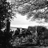 Cows at Lamerton May 2017