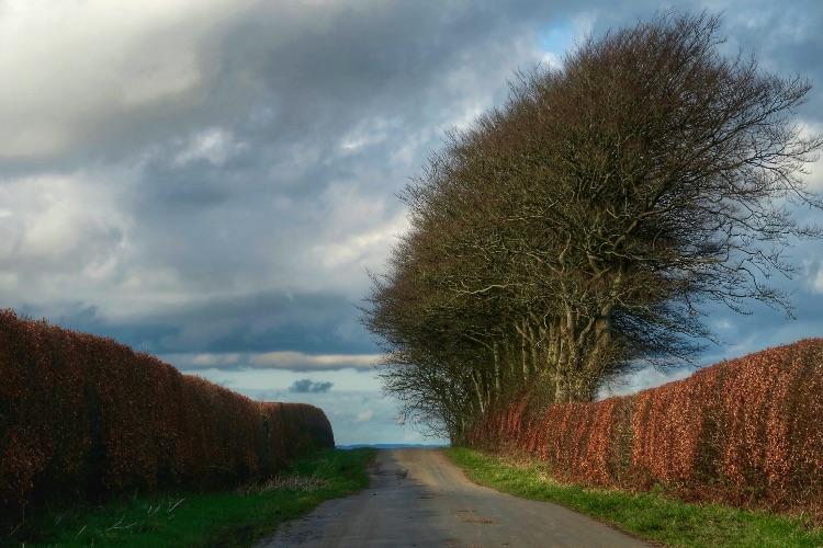 Beeches near Brentor, February 2017