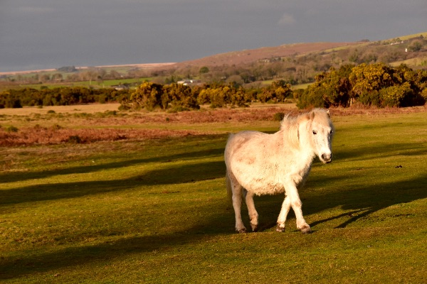 Pony, Whitchurch down, December 2016, Dartmoor.
